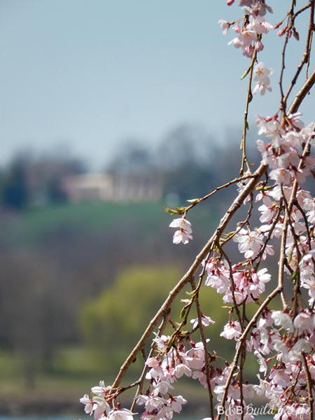 dc cherry blossoms @ BandBBuildALife.com