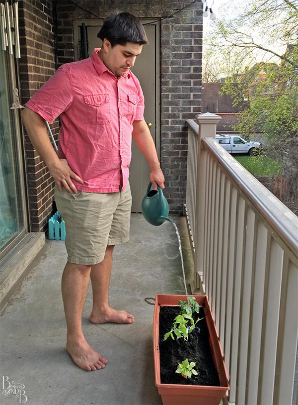 Watering tomatoes balcony garden